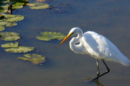 The stately great egret